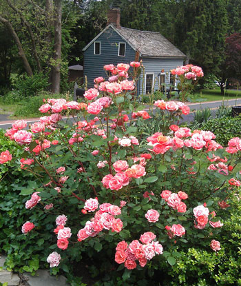 http://www.landscape-design-advice.com/easy-to-grow-roses.html#.VbIsWHisZHg